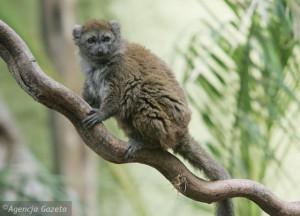 lemur alaotranski