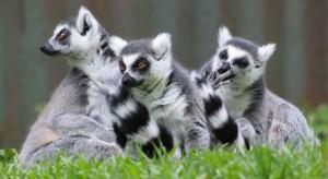 lemur nowy gatunek
